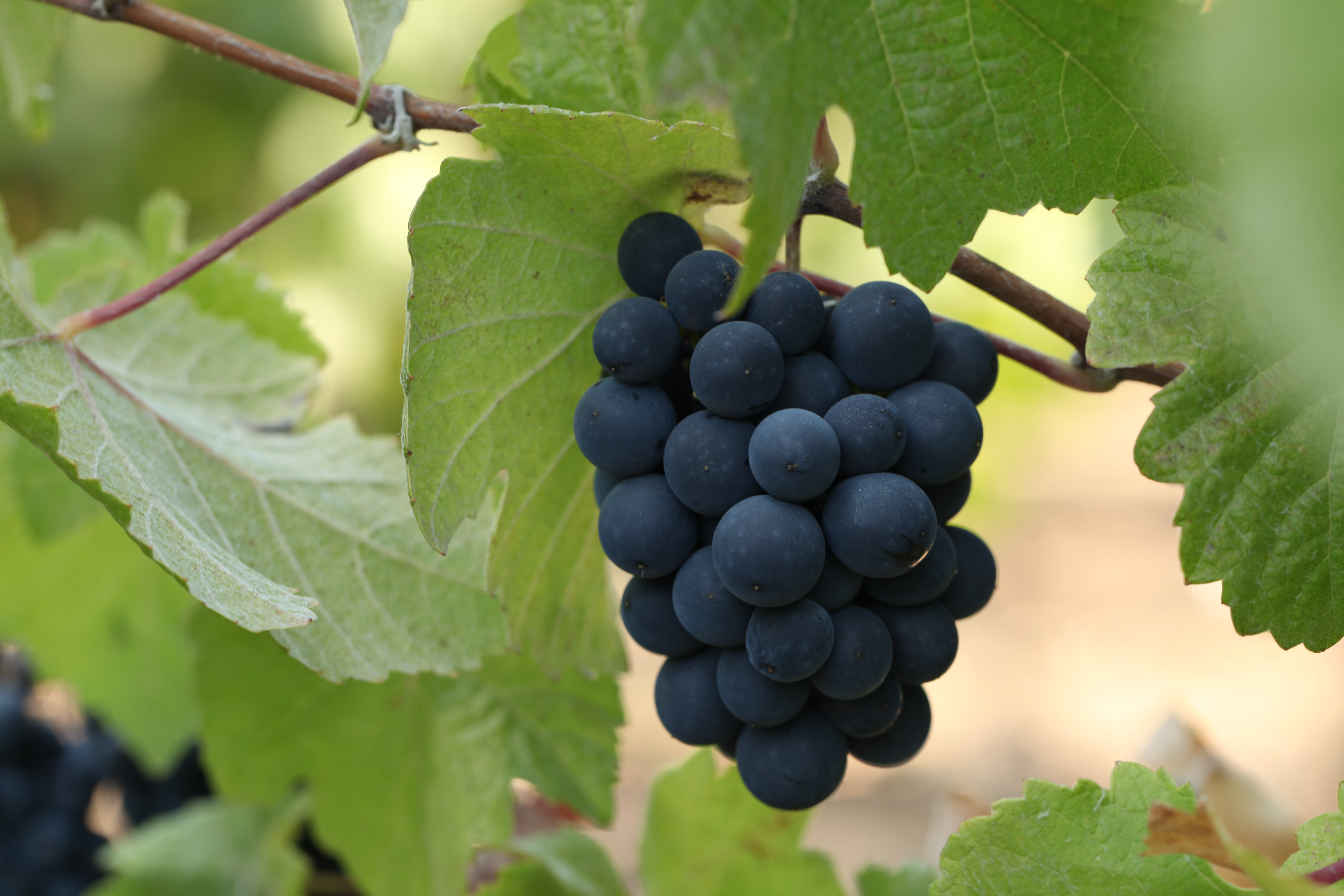 "the goophered grapevine In ""the goophered grapevine,"" julius speaks of one slave who ate some  betwitched scuppernong the man is caught and returned to a cursed life  wherein he."